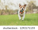 Stock photo happy dog with colorful toy running and playing at spring fresh green grass lawn 1292171155