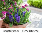 Tulips And Hyacinth In Flower...