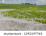 Flooded Field Of Corn From A...