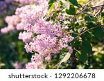 sweet blossoming purple and... | Shutterstock . vector #1292206678