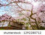 full bloom sakura   cherry... | Shutterstock . vector #1292280712