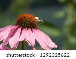 Pink Flower  Coneflower  Spide...