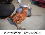 brown hen isolated on white ... | Shutterstock . vector #1292432608