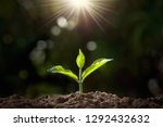 small plant growing in garden...   Shutterstock . vector #1292432632