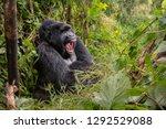 Stock photo wild mountain gorilla silverback yawning in the nature habitat very rare and endangered animal 1292529088