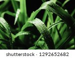 close up image of cymbopogon... | Shutterstock . vector #1292652682