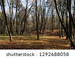 tall autumn trees in a maple... | Shutterstock . vector #1292688058