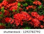 beautiful spike flower blooming ...   Shutterstock . vector #1292782792