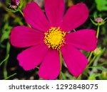cosmos bipinnatus blooming in... | Shutterstock . vector #1292848075