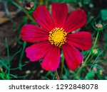 cosmos bipinnatus blooming in... | Shutterstock . vector #1292848078