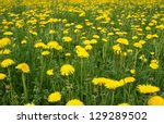 Meadow With Yellow Dandelions...