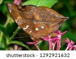 Asian Autumn Leaf Butterfly ...