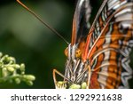 Leopard Lacewing  Cethosia...