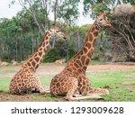 rothschilds giraffe  giraffa... | Shutterstock . vector #1293009628
