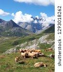 cows mountains alps   Shutterstock . vector #1293018262