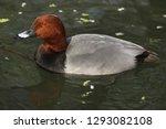 common pochard  aythya ferina . ...   Shutterstock . vector #1293082108