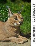 caracal  caracal caracal . wild ...   Shutterstock . vector #1293082135