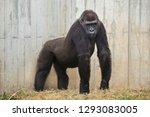 western lowland gorilla ...   Shutterstock . vector #1293083005