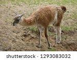 guanaco  lama guanicoe   also...   Shutterstock . vector #1293083032