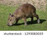capybara  hydrochoerus...   Shutterstock . vector #1293083035