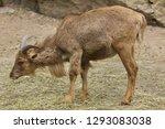 barbary sheep  ammotragus...   Shutterstock . vector #1293083038