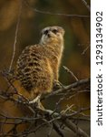 meerkat  suricata suricatta .    Shutterstock . vector #1293134902