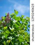 lilac flowers. green branch... | Shutterstock . vector #1293240625