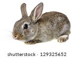 Stock photo little brown rabbit 129325652