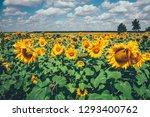 field full of sunflowers at... | Shutterstock . vector #1293400762