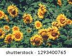 field full of sunflowers at... | Shutterstock . vector #1293400765