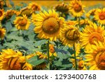 field full of sunflowers at... | Shutterstock . vector #1293400768
