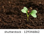 green sprout growing from seed... | Shutterstock . vector #129346862