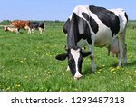 cows  on a summer pasture | Shutterstock . vector #1293487318