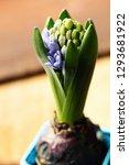 growing hyacinth flower bud  ...   Shutterstock . vector #1293681922
