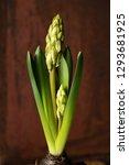 growing hyacinth flower bud  ...   Shutterstock . vector #1293681925