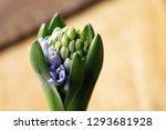 growing hyacinth flower bud  ...   Shutterstock . vector #1293681928