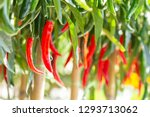Red And Green Peppers On A Tree