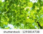 green maple leaf background ... | Shutterstock . vector #1293814738