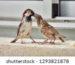 Sparrow  Passer Domesticus ...
