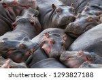 A Pod Of Hippos  Hippopotamus...