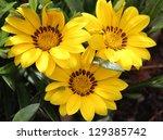Three Bright Yellow Flowers Of...