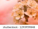flowers of cherry plum or... | Shutterstock . vector #1293959848