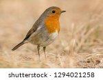 eurasian robin bird  erithacus... | Shutterstock . vector #1294021258