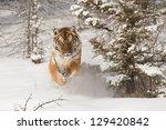 Rare Siberian Tiger Running In...