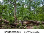 letea forest  unique place in... | Shutterstock . vector #129423632