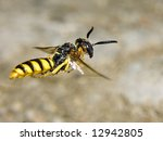 Small photo of Flying wasp - Philanthus. Macro photo of wasp flying on a blurred background. Bee-hunters wasp flying in nature. Flying bee-killer wasps - Philanthus closeup. Wasp hunts bees.