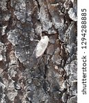 cicada on old mahogany tree  | Shutterstock . vector #1294288885