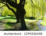 Green Willow Tree By The Strea...