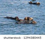 morro bay otter    Shutterstock . vector #1294380445