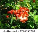 beautiful orange flowers of... | Shutterstock . vector #1294555948